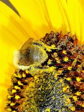 Photo: Bumble Bee on Sunflower