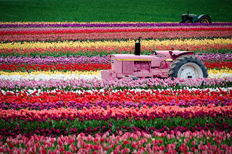 Photo: Tractor Races  Okay, they're not really racing.  Taken at the Wooden Shoe Tulip Farm in Woodburn, OR, the only place I've ever seen a pink tractor.