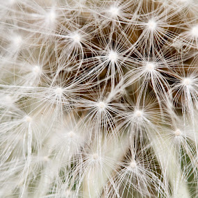 Dandelion Macro by Caitlin Scroggins - Nature Up Close Flowers - 2011-2013 ( canon, macro, 7d, dandelion, fuzz, seeds, tamron 180, tamron, canon 7d, flower )