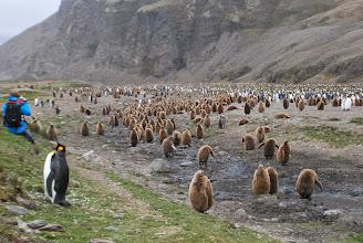 Photo: King Penguin Chicks