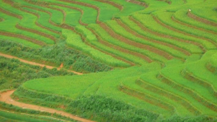 Coltivazioni di riso verdeggianti di Simona Ranieri