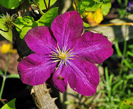 Photo: Clematis 'Voluceau'