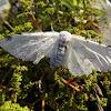 Mariposa da lagarta desfolhadora