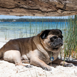 Undercover by Geoffrey Wols - Animals - Dogs Portraits ( water, tree, grass, under cover, shade, dog, pug,  )