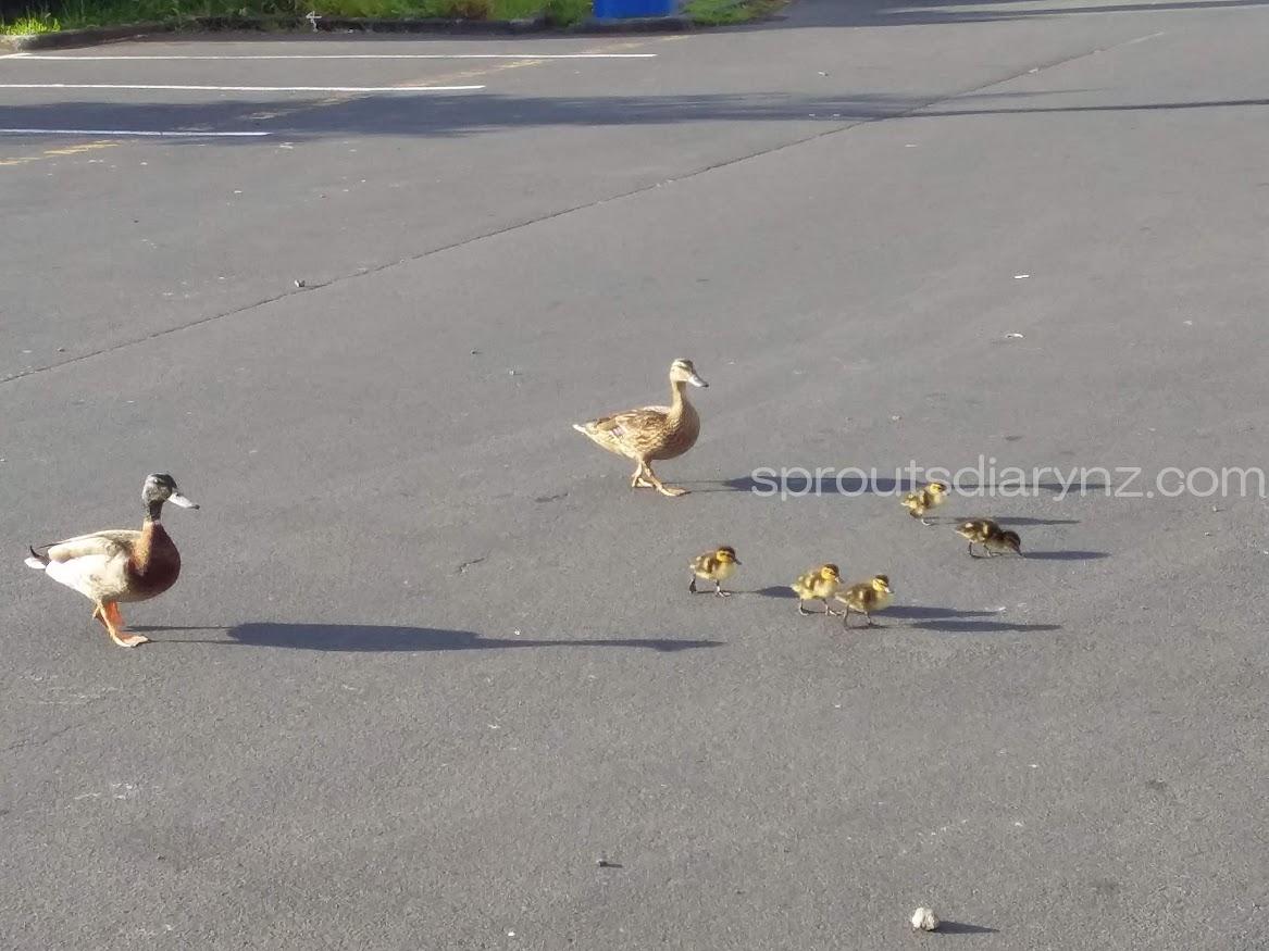 カモの一家。駐車場を横切っています。