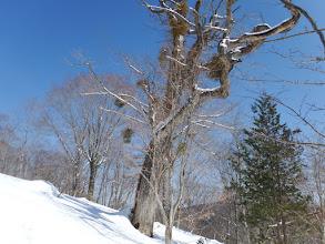 ヤドリギの多い巨木