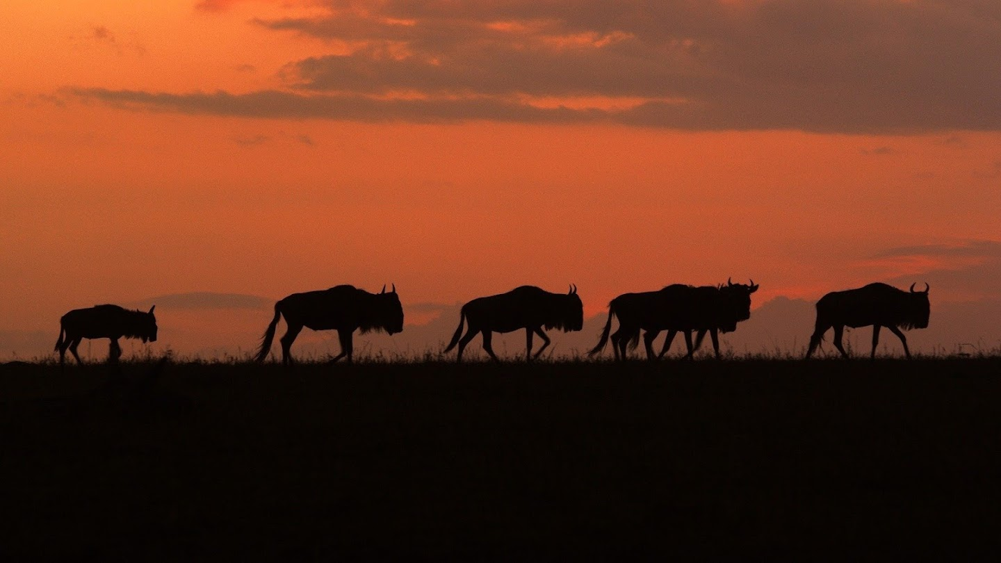 Watch Nomads of the Serengeti live