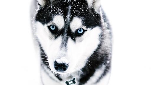 Siberian Husky Wallpapers HD 4k