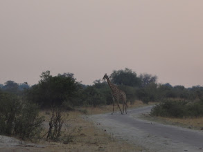 Photo: And a giraffe crossing - a great end to the day safari!