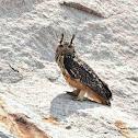 Indian eagle owl / கொம்பன்  ஆந்தை