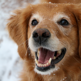 Snow Day! by Kari Schoen - Animals - Dogs Portraits ( canine, snowday, snow day, dog, portrait, golden retriever,  )