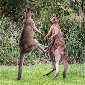 Boxing Kangaroos by Erica Siegel - Animals Other Mammals ( eastern grey kangaroos, australian wildlife, kangaroo, marsupial, boxing kangaroos' )