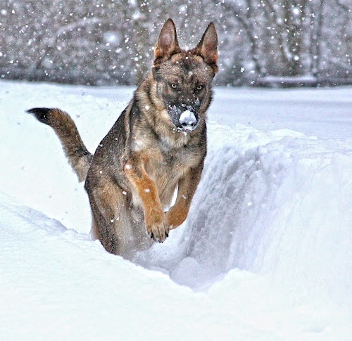 Donnie playing in the snow by Doreen Rutherford - Animals - Dogs Running ( pwc84, , #GARYFONGPETS, #SHOWUSYOURPETS )