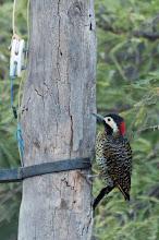 Photo: Green-barred Woodpecker (Grünbindenspecht); Valle Cachaquí, ARG