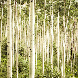 ASPENS by Jennifer  Loper  - Nature Up Close Trees & Bushes ( leadville, green, hillside, aspen, trees, colorado, summer )