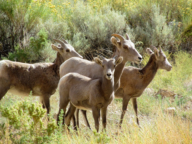 Bighorn Sheep in Nine Mile Canyon