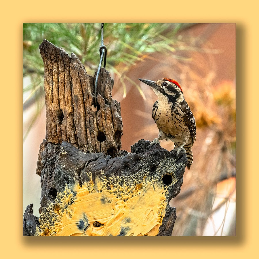 by Ronnie Sue Ambrosino - Animals Birds ( nature, feeder, peanut butter, bird, rustys rv, woodpecker, rodeo,  )