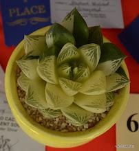 Photo: variegated Haworthia cuspidata