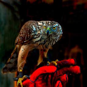 Hawk by Veronica Gafton - Animals Birds ( eagle, colorful, colors, pets, howk, birds, portrait )