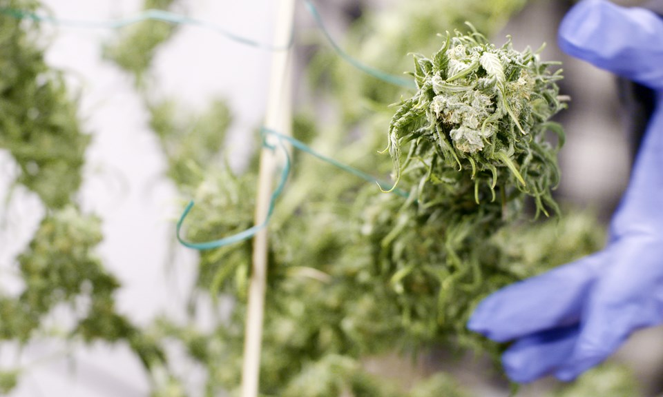 Конопля сушка на табак против марихуаны
