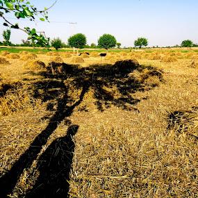 Under the tree by Muhammad Gujjar - Uncategorized All Uncategorized ( tree, shadow, hot, summer, man, golden, #GARYFONGDRAMATICLIGHT, #WTFBOBDAVIS )