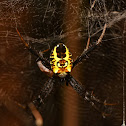 Double- humped Yellow tent spider