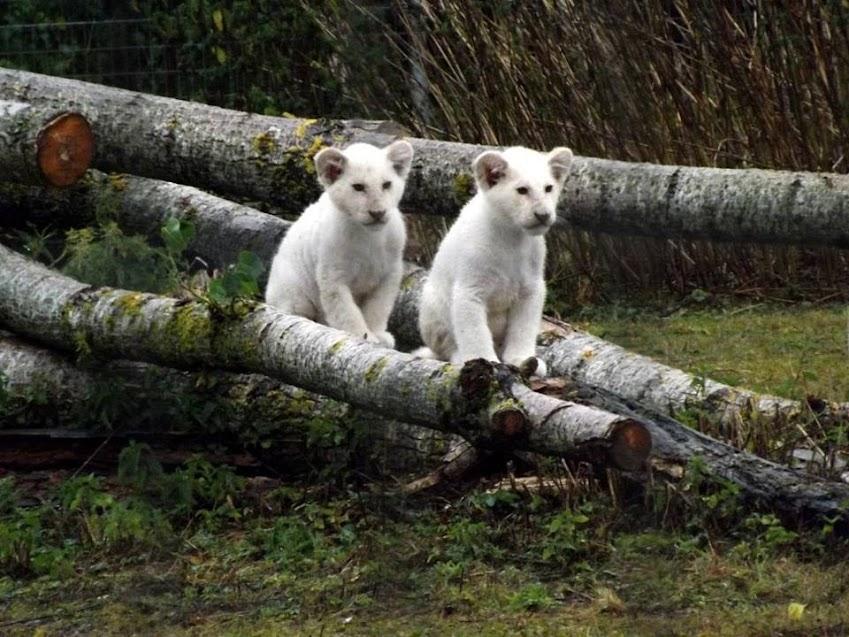 Lionceaux blancs, Parc des Félins - Tous droits réservés