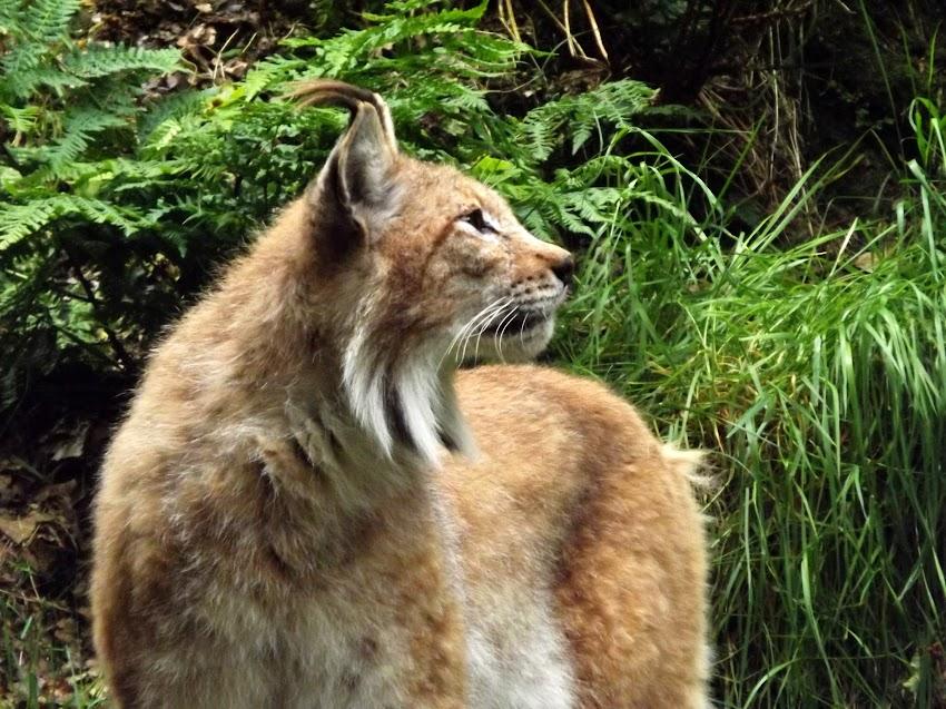 Lynx boréal, Jurques - Tous droits réservés