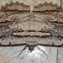 Owl Moth / Mariposa-Coruja