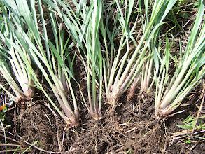 Photo: Lemongrass. Photo credit Log House Plants