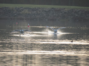 Photo: Priorslee Lake Splashdown: 2 of the cygnets return from a local flight. (Ed Wilson)