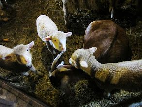 Photo: Three lambs around a goat at Carriage Hill Metropark in Dayton, Ohio.