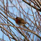 European robin, Rotkelchen