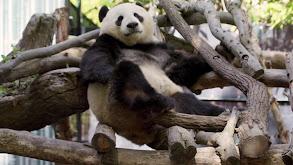 Panda-monium thumbnail