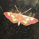 Distinguished Colomychus Moth