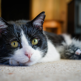 by Viks Pix - Animals - Cats Portraits ( tuxedo, green, laying, old, black, portrait, eyes, cute, tomou )