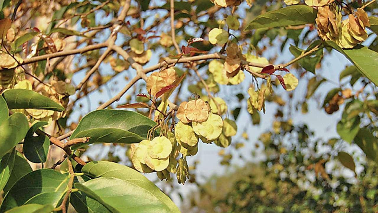 kanju tree.jpg
