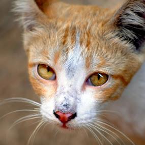 Kat Kat by Dave Grapika - Animals - Cats Portraits ( pcat )