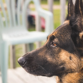 Profile by Mikahla Dorey - Animals - Dogs Portraits ( quebec, dog, german shepherd, animal )