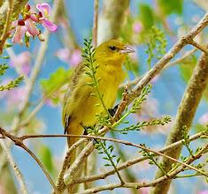 Photo: Unidentifiziert. Ähnlich dem Gold-Waldsänger (Setophaga petechia, Yellow warbler), aber die Schnabelform passt nicht dazu.