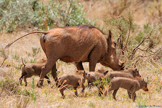 Photo: Warthog mom with kids in the Mokala National Park