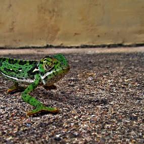 Hottie by Nico Ebersohn - Animals Reptiles ( eye, green, couleurs, foot, wildlife )