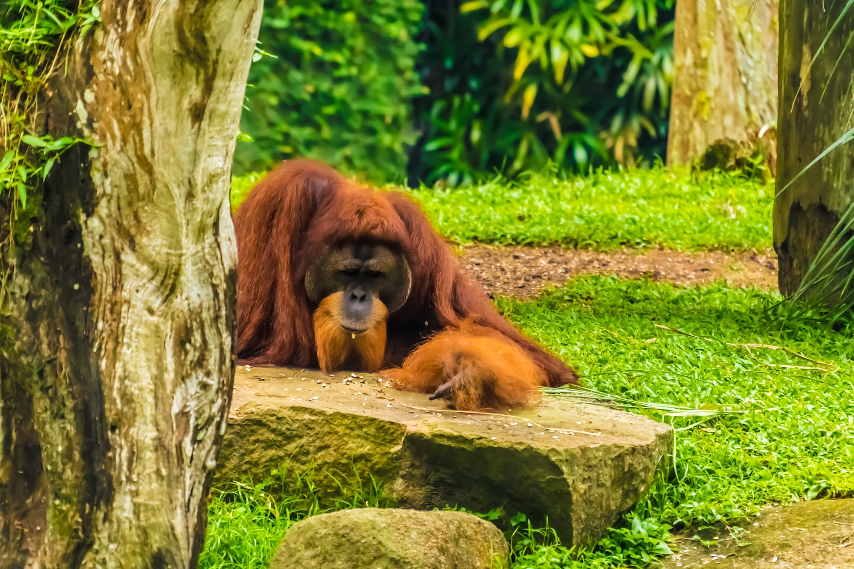 シンガポール動物園 オランウータン1