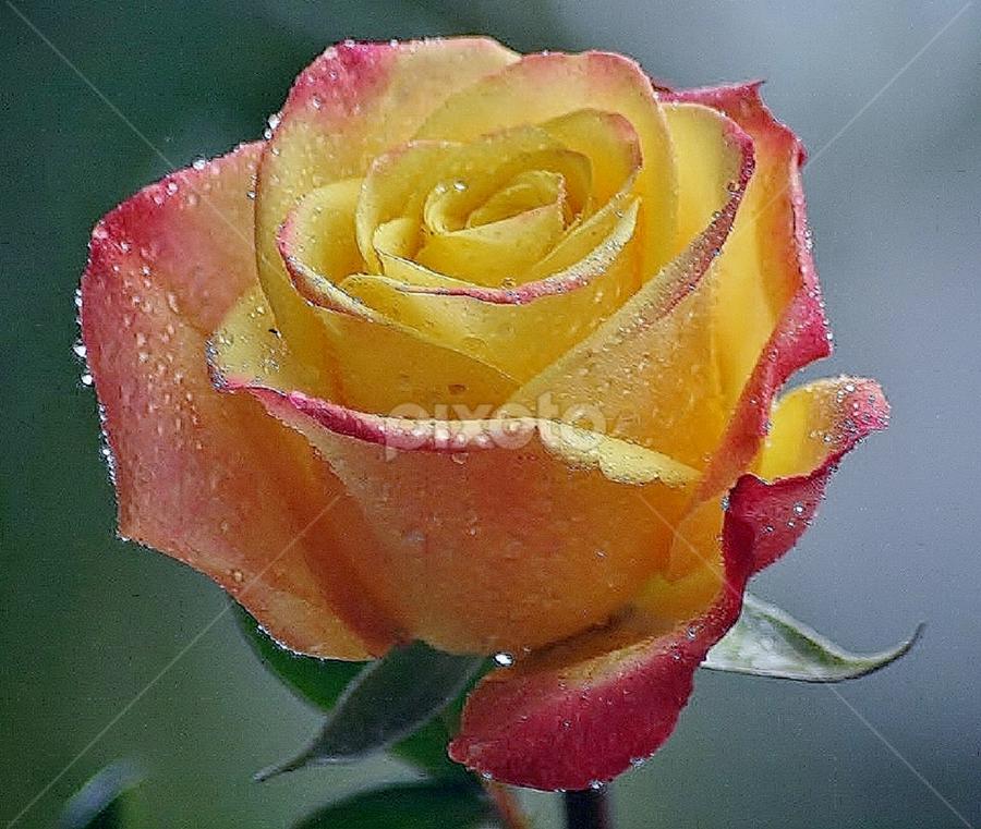 Good Morning Single Flower Flowers Pixoto