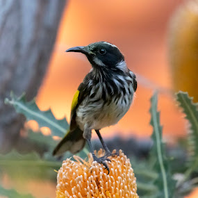 New Holland Honeyeater on Banksia by Clarissa Human - Animals Birds ( bird photography, bird, australia, birds, wildlife )