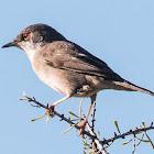 Sardinian Warbler; Curruca Cabicinegra