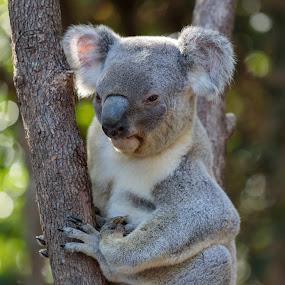 Koala by Steve Hunt - Animals Other (  )