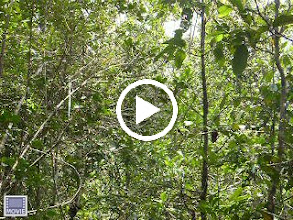Video: Indri song