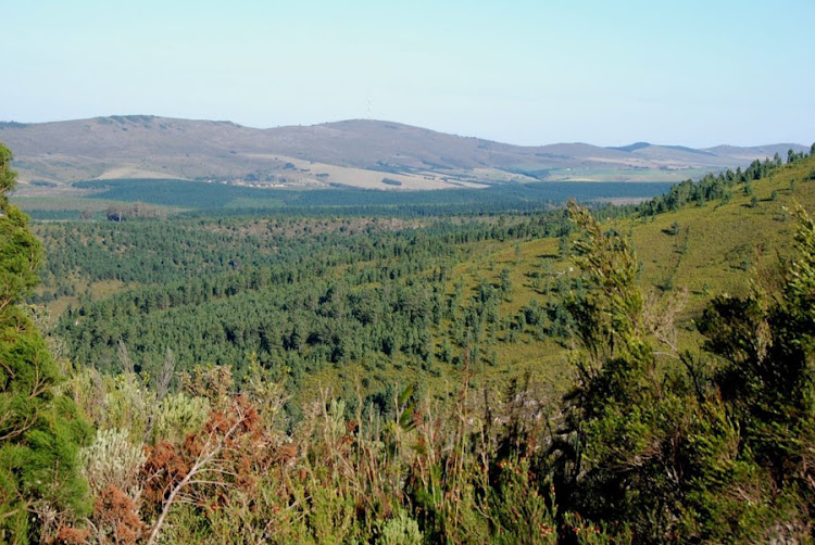 Plantations of pine trees in the background, and invasion by escaped pines on the Garcia Pass in the southern Cape. These invasions can substantially increase fuel loads, leading to more intense and damaging wildfires, say scientists.