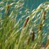 Common Cattail
